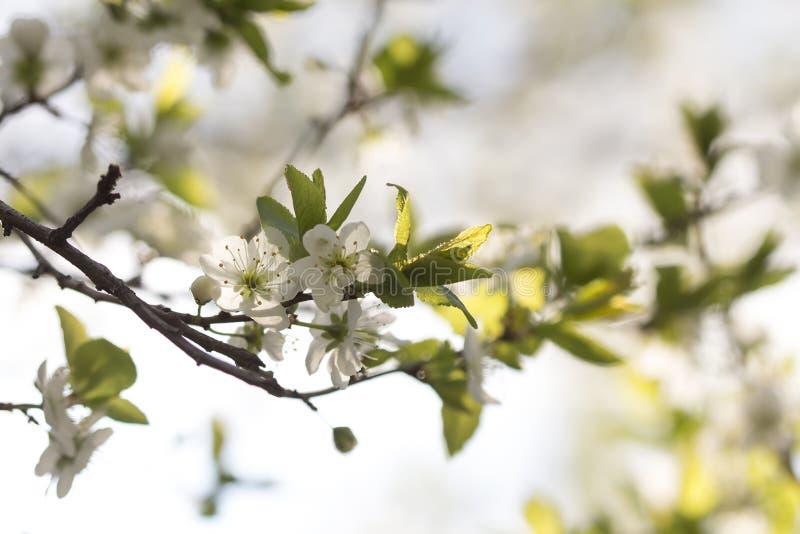 在落日的樱花 免版税库存图片