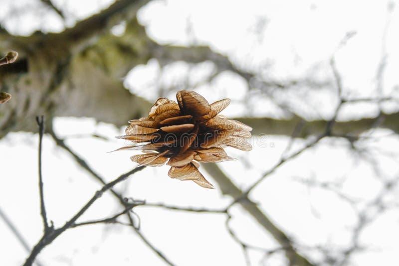 在落的树的槭树种子,以直升机的形式 免版税库存图片