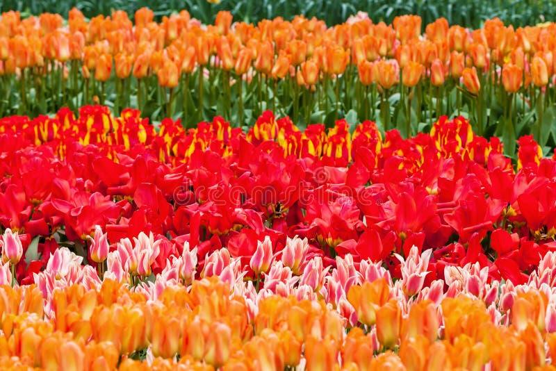 在著名花的五颜六色的花在利瑟,荷兰停放Keukenhof 库存照片