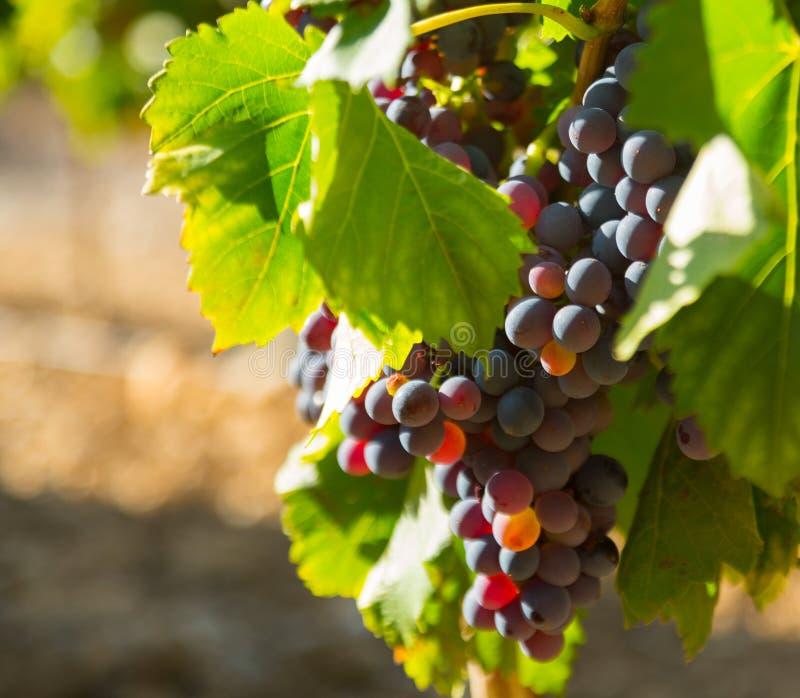 在葡萄园植物的葡萄在晴天 图库摄影