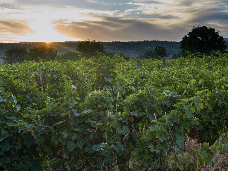 在葡萄园的日落在Vrancea,罗马尼亚 免版税图库摄影
