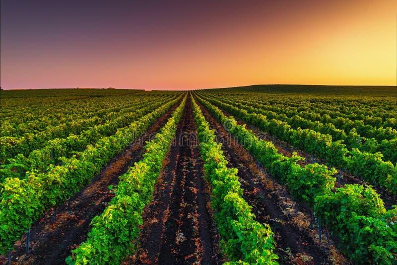 在葡萄园领域的美好的日落在欧洲 免版税库存照片