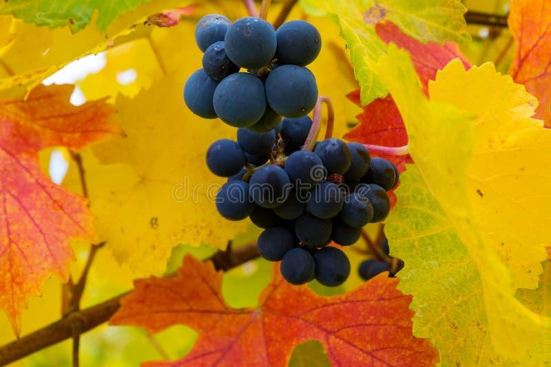 在葡萄树的红葡萄酒葡萄在秋天俄勒冈美国 免版税库存照片