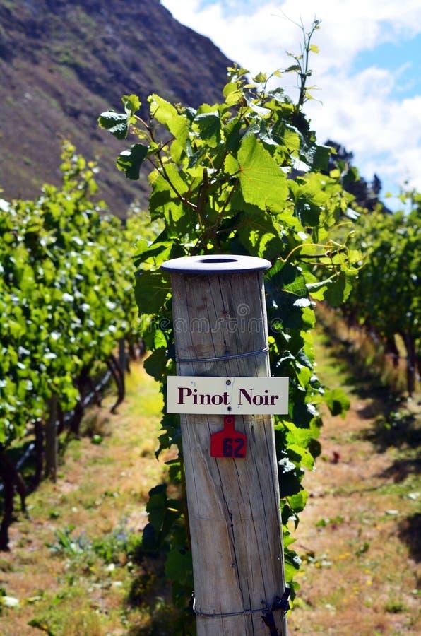 在葡萄树的黑比诺葡萄酒标志 免版税库存照片