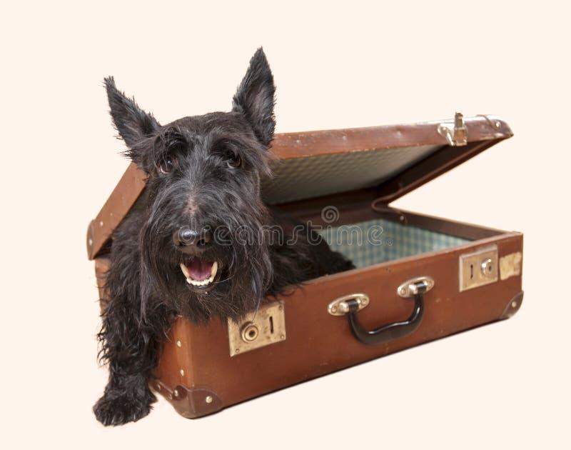 在葡萄酒手提箱的苏格兰狗 免版税库存图片