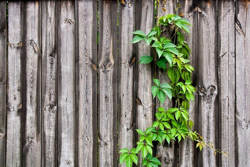 在葡萄酒木背景的叶子狂放的葡萄与拷贝空间 免版税库存照片