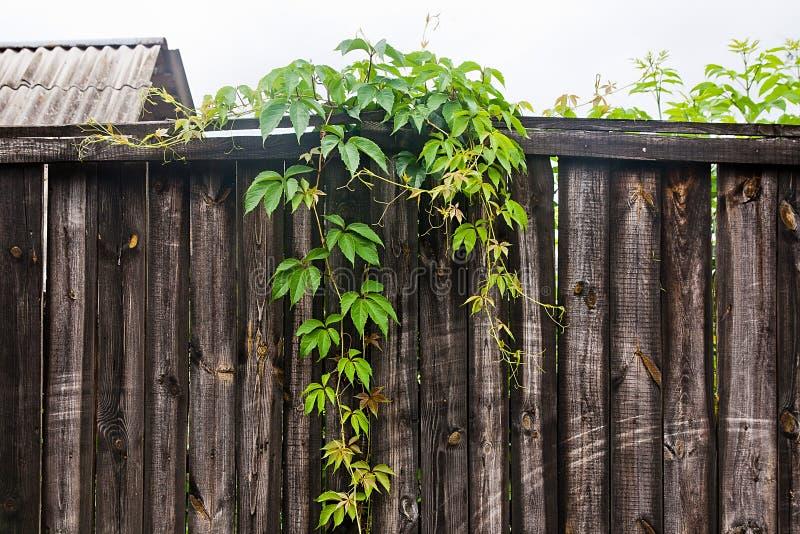 在葡萄酒木背景的叶子狂放的葡萄与拷贝空间 免版税图库摄影