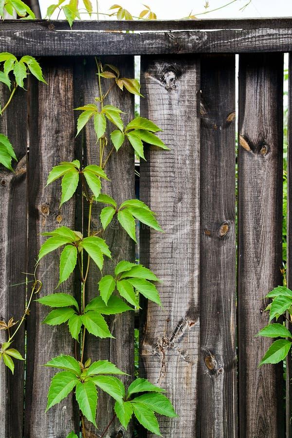 在葡萄酒木背景的叶子狂放的葡萄与拷贝空间 库存图片