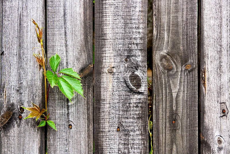在葡萄酒木背景的叶子狂放的葡萄与拷贝空间 库存照片