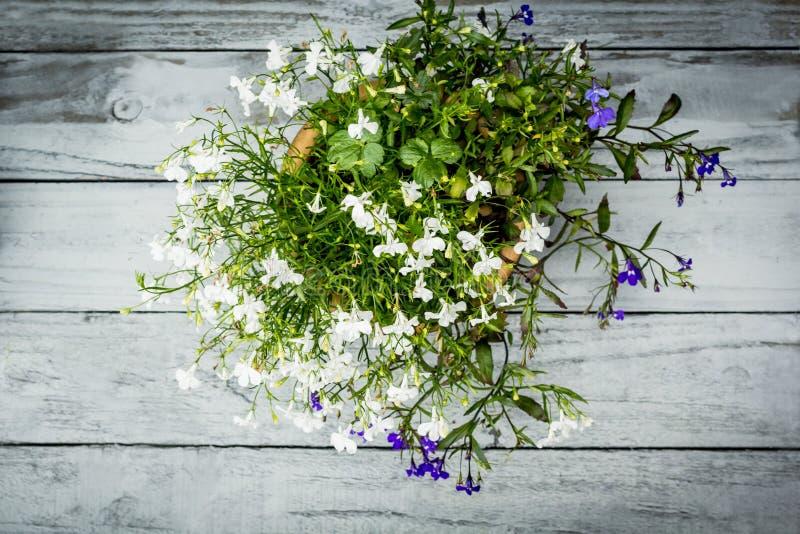 在葡萄酒木被绘的背景的美好的bloomng山梗菜, 库存照片