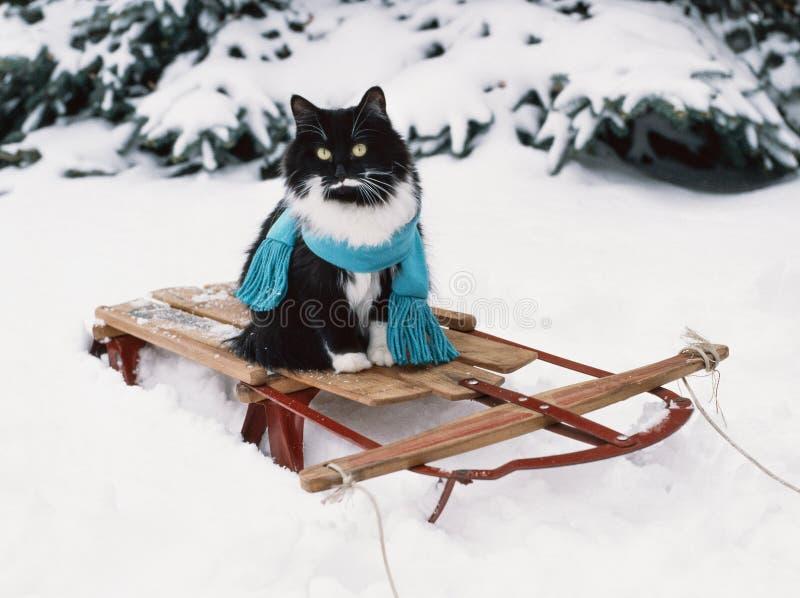 在葡萄酒木雪撬的无尾礼服猫佩带的围巾 图库摄影