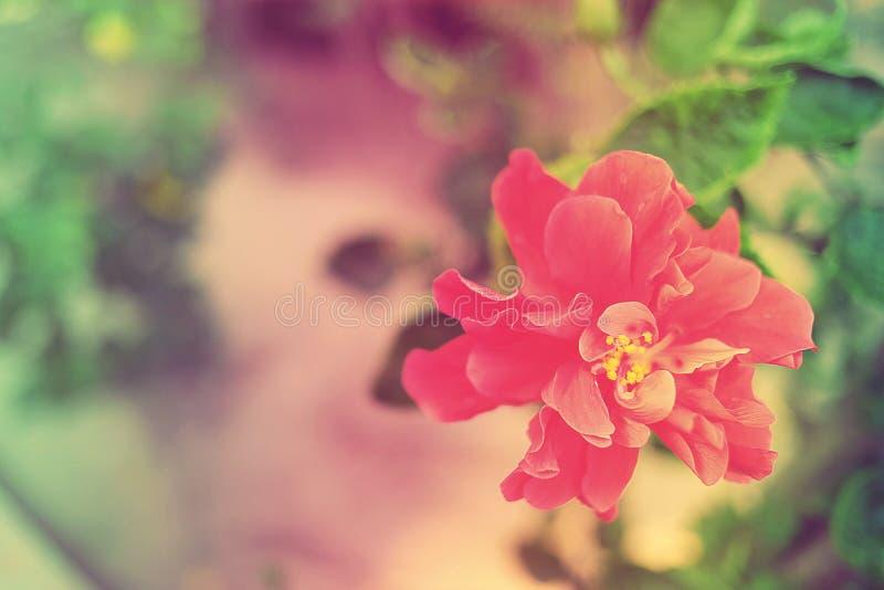 在葡萄酒颜色的甜和软的花木槿mutabilis 库存照片