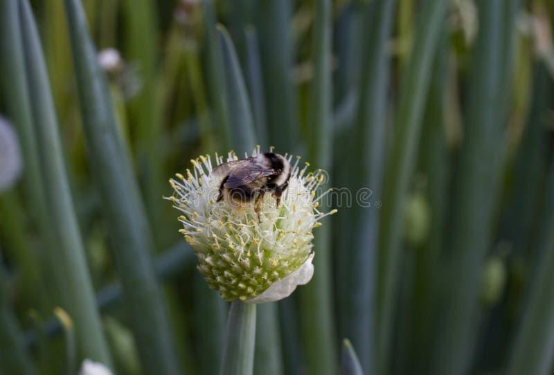 在葱花附近的蜂在被弄脏的绿色背景 免版税库存图片