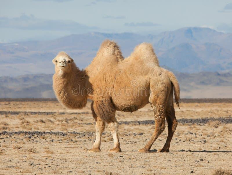 在蒙古的干草原的双峰驼 免版税图库摄影