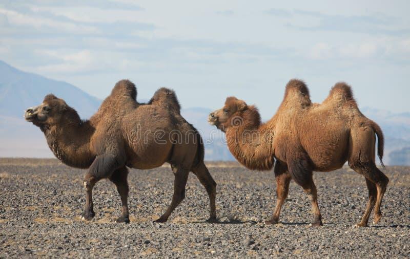 在蒙古的干草原的双峰驼 图库摄影