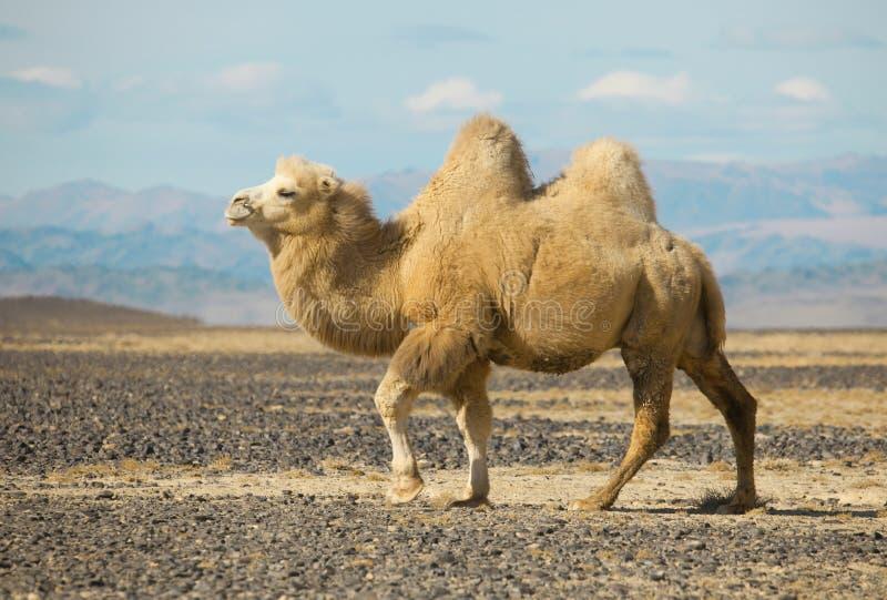 在蒙古的干草原的双峰驼 免版税库存照片