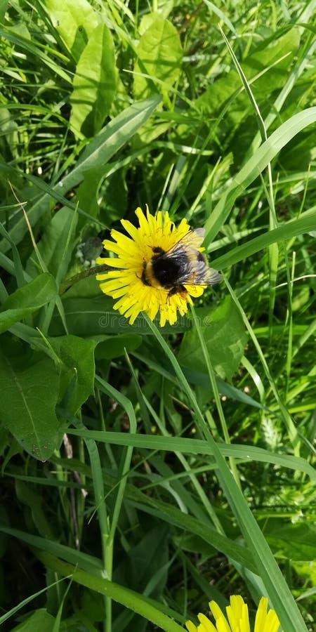 在蒲公英的土蜂在阳光下 库存照片