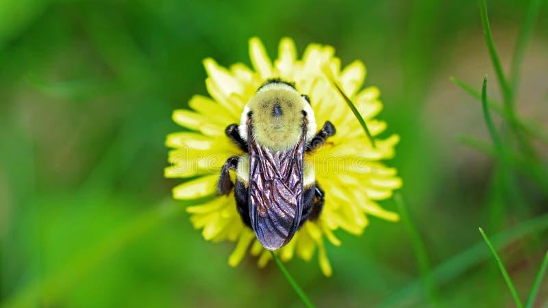 在蒲公英的土蜂,在花顶部的美丽的独特的黄色昆虫 免版税图库摄影