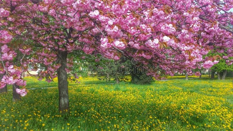 在蒲公英的樱桃 库存图片