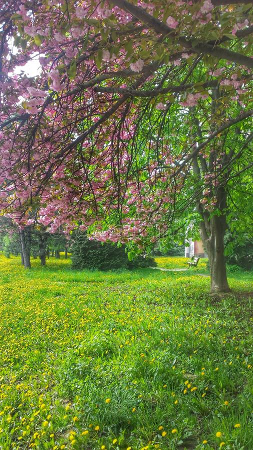 在蒲公英的樱桃 库存照片