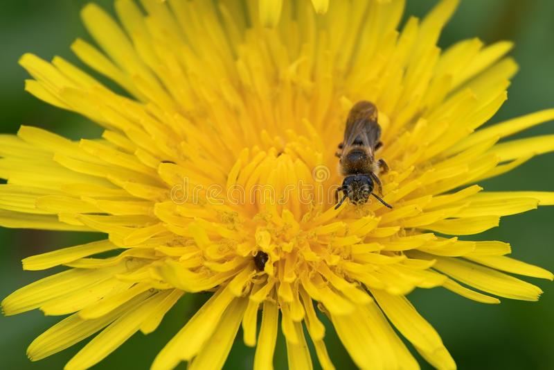 在蒲公英的蜂 免版税图库摄影