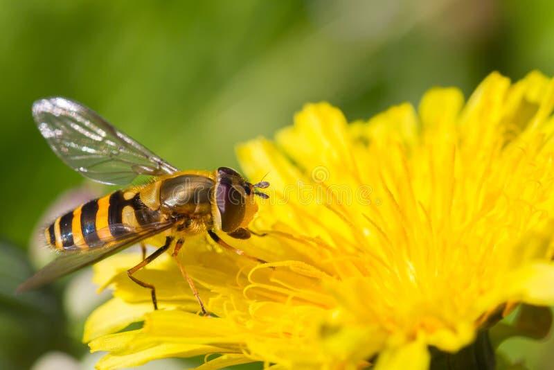 在蒲公英的Hoverfly 免版税库存照片