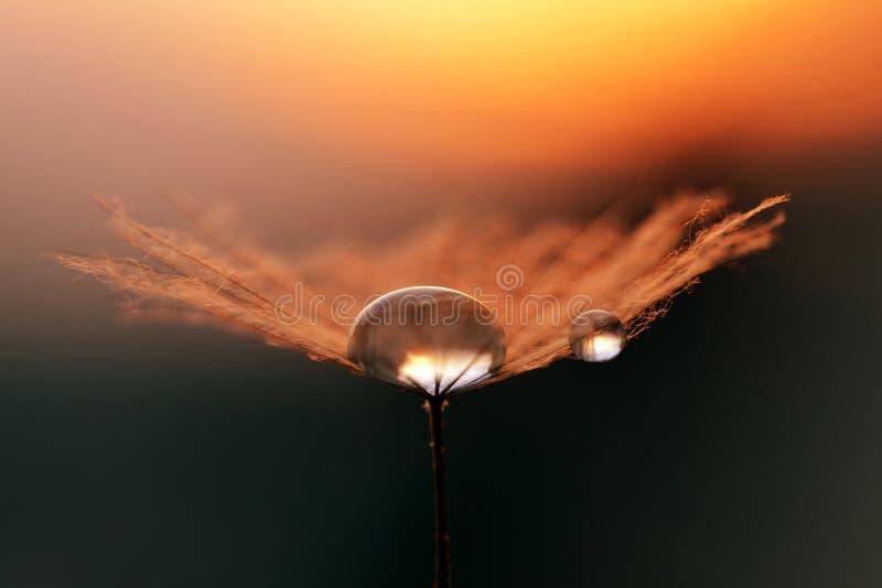在蒲公英种子的水下落关闭  在日出的早晨露水 免版税图库摄影