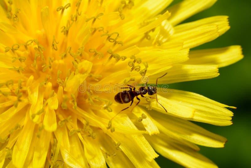 在蒲公英花的黑蚂蚁 免版税库存照片