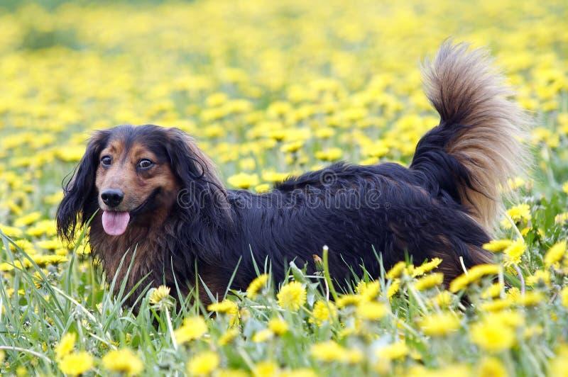 在蒲公英草甸的达克斯猎犬 库存照片