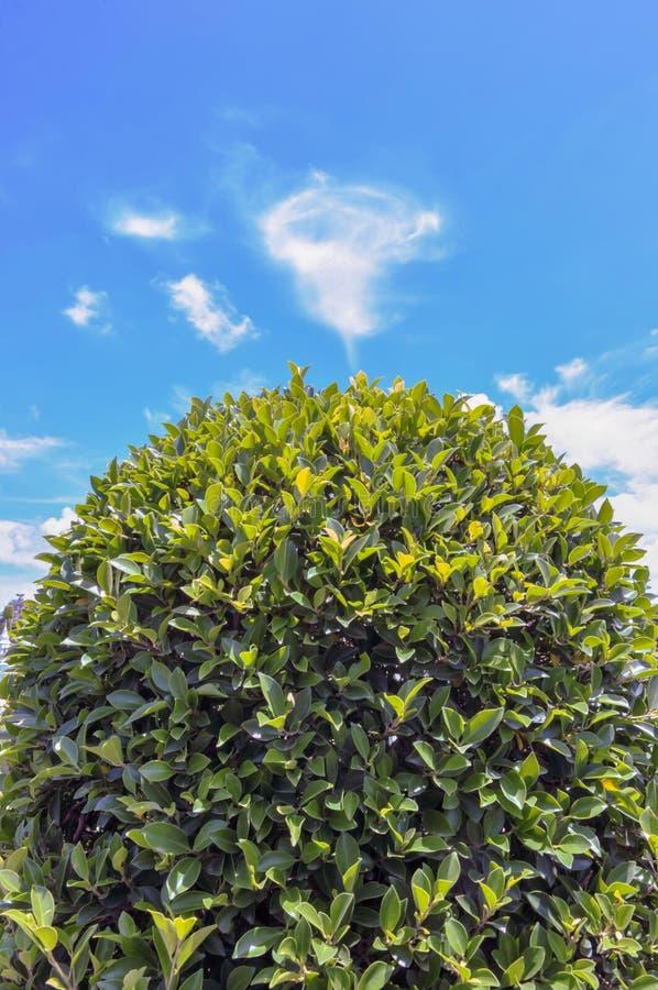 在蓝天和美丽的云彩隔绝的绿色灌木在庭院里 库存图片