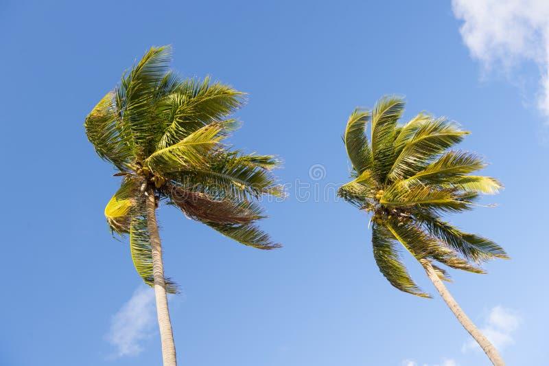 在蓝天的两棵棕榈 免版税图库摄影
