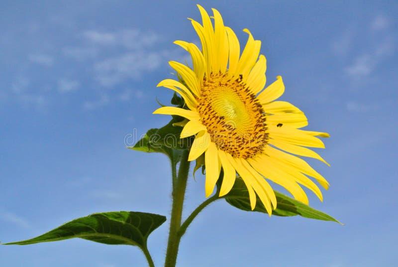 在蓝天的向日葵 免版税库存照片