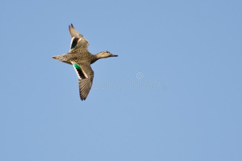 母绿翅鸭小野鸭 免版税库存照片
