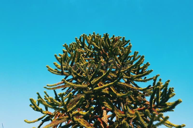 在蓝天的智利南美衫树 图库摄影