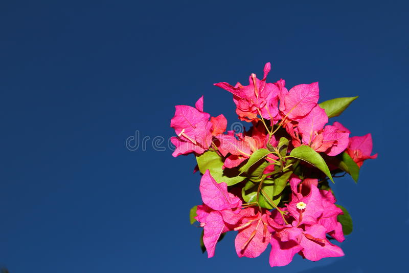 在蓝天的桃红色九重葛 免版税库存照片