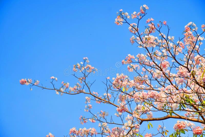 在蓝天的桃红色喇叭花 免版税库存照片