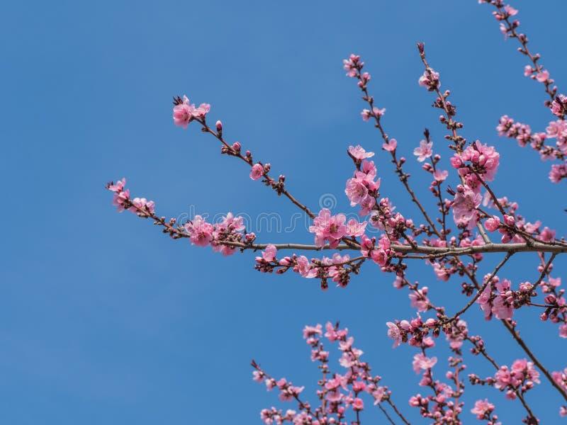 在蓝天的桃红色开花 免版税库存图片