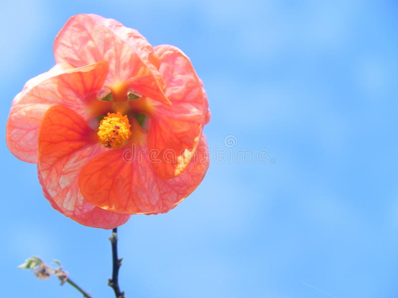 在蓝天的桃红色 免版税库存照片