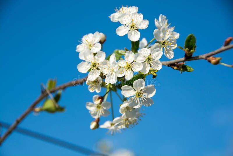 在蓝天的樱桃花 免版税库存图片