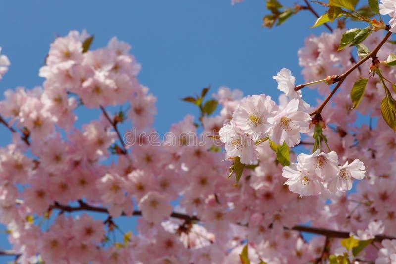 在蓝天的樱花 库存图片