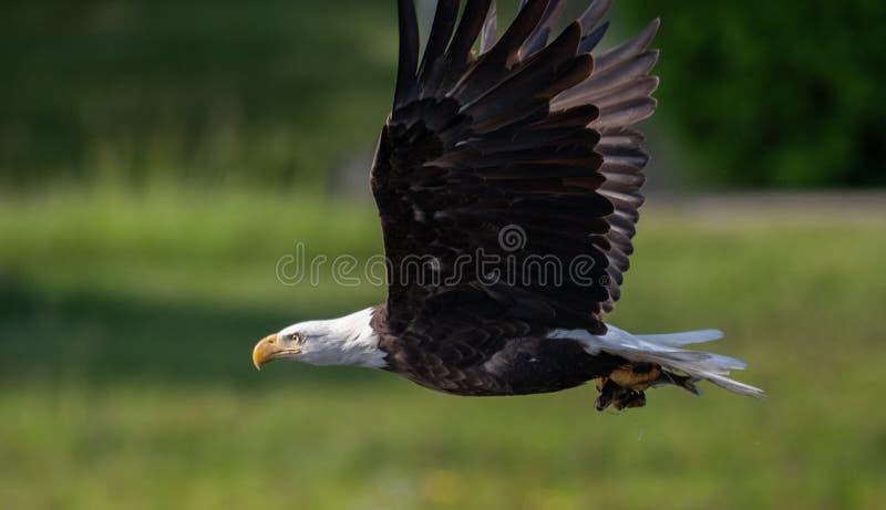在蓝天的白头鹰飞行 免版税库存照片