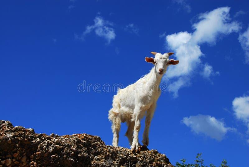 在蓝天的白色山羊 库存图片
