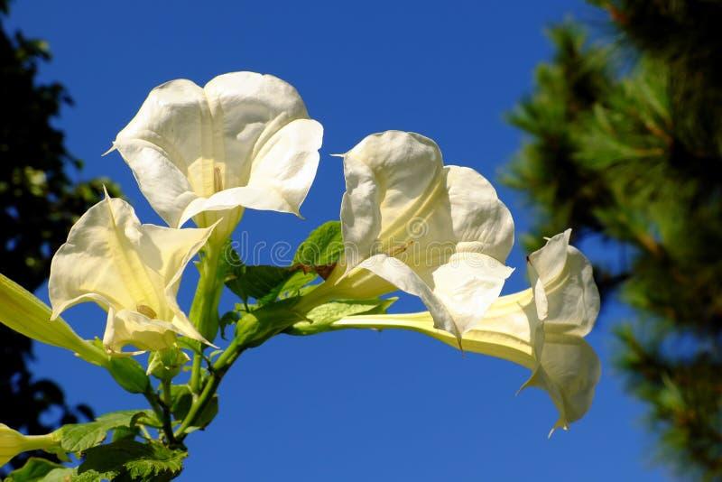 在蓝天的白色Borrachero花 免版税库存图片