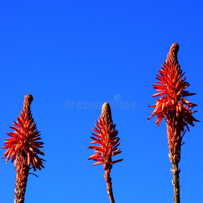 在蓝天的红色橙色尖刻的花 免版税库存照片
