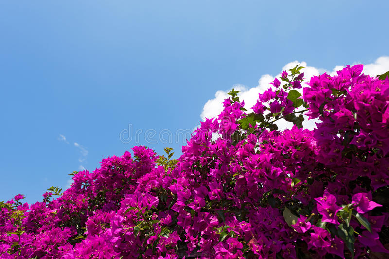 在蓝天的美丽的九重葛 库存照片