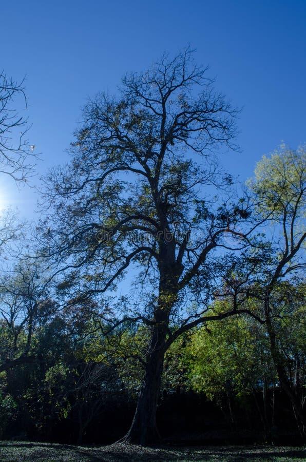 在蓝天的美丽的树 图库摄影