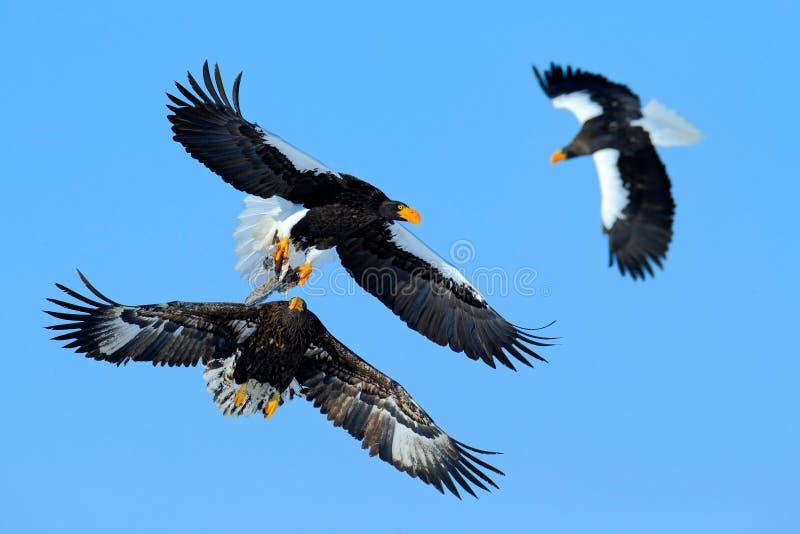 在蓝天的老鹰战斗 野生生物行动从自然的行为场面 与鱼的老鹰飞行 美丽的Steller ` s海鹰, H 免版税库存照片