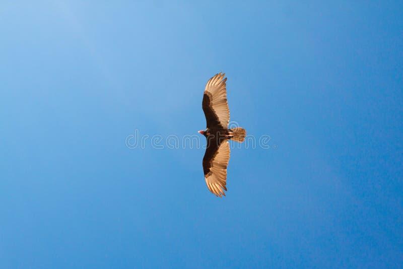 在蓝天的老鹰飞行 免版税库存照片