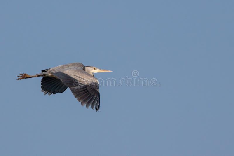 在蓝天的飞行苍鹭 库存图片