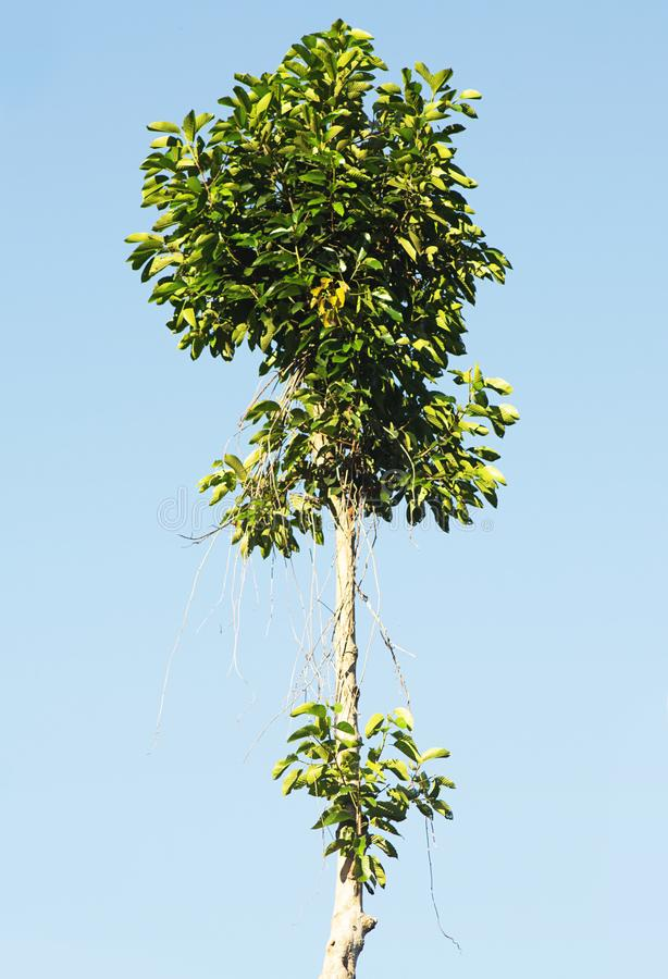 在蓝天的高大的树木 免版税库存照片